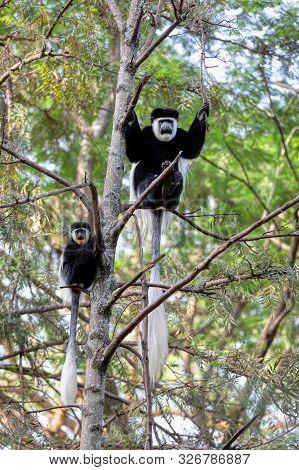 Beautiful Monkey Family Of Colobus Guereza, In Natural Habitat Near Lake Awassa, Ethiopia, Africa Wi
