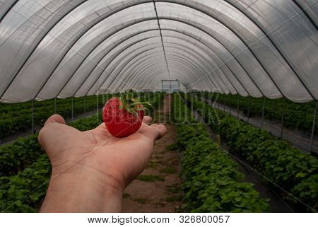 The strawberry in a man palm in a garden, Fresh organic strawberries organic from natural farms, safe from toxins, process yield Organic Strawberry Fresh, clean and hygienic. Organic food. Diet. Vitamins. poster