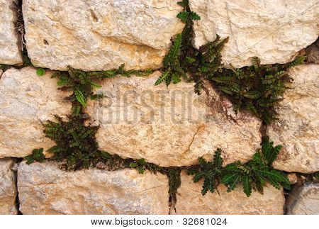 Texture Of Stone Wall With Green Leaves In Joints