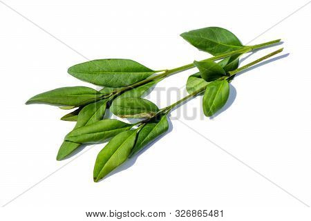 Privet Leaf Isolated In Isolation On White Background