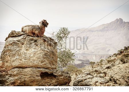 Arabian tahr or mountain goat resting on a rock at Jebel Shams in Oman