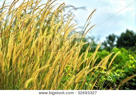 Golden Weeds