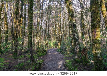 Hiking Path, Trek In Mountain Rainforest With Trees Covered In Moss. Nature Background. Arthurs Pass