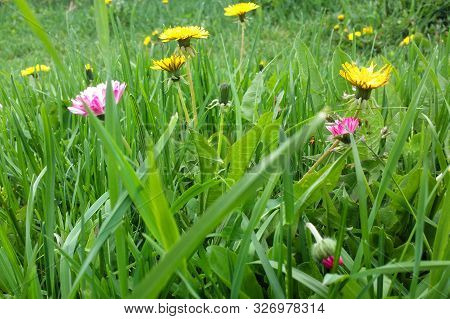 Spring Bright Background With Yellow Dandelions And Pink Wild Flowers In Green Grass. Image With Dif