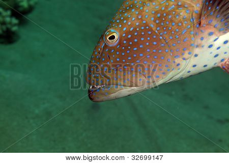 Coralgrouper close-up in the Red Sea.