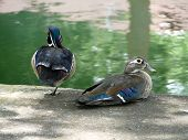 A wood duck pair in the wild along a river bank in a rural residential area. The male is standing guard for his mate. poster