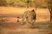 Lion at Gir forest. Gir forest is located in Gujarat state of India. poster