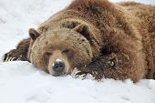 Tired grizzly bear slept on snow in winter day poster