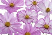 Studio Shot of Fuchsia Colored Cosmos Flowers Isolated on White Background. Large Depth of Field (DOF). Macro. poster