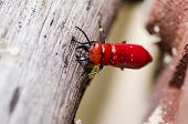 scissors of red beetle in the green nature or in the garden poster