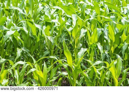 Green Corn Field, Corn Cob On Corn Field In Plantation In The Netherlands