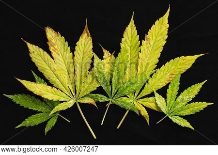 Background Of Of Incomplete Marijuana Leaves And Sick With Characteristics Edge Of The Leaf That Bur