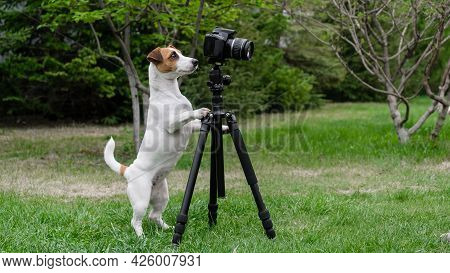 Dog Jack Russell Terrier Takes Pictures On Camera On A Tripod Outdoors.