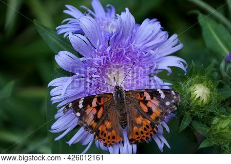 Close Up Of A Butterfly Pollinating A Blue Daisy Flower