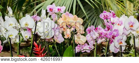 Panorama Of Colorful Orchid Flowers On A Jungle Background