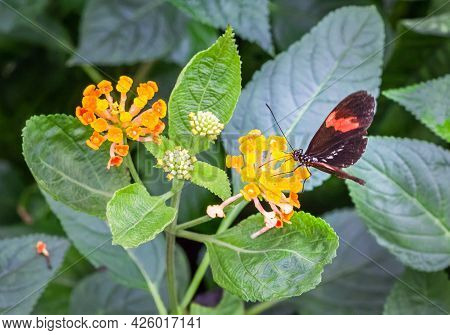 Red Postman Butterfly (heliconius Erato) Sitting On A Yellow Flower