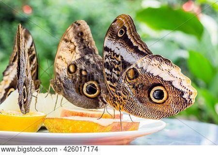 Owl Butterflies (caligo) Feeding On A Dish With Fruit