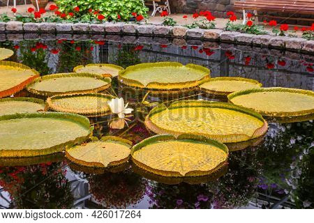 Giant Water Lily (victoria Amazonica) In A Pond In The Greenhouse In Luttelgeest, Netherlands