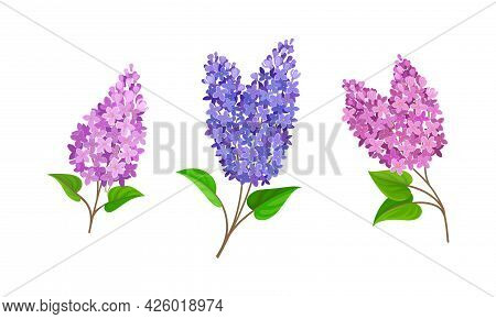 Lilac Or Syringa Flowers With Showy Aromatic Blossom On Stem Vector Set