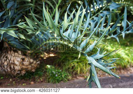 Cycad Encephalartos horridus - ancient palm-like tropical and subtropical plant in Tropical Garden in Funchal, Madeira island. Selective focus.
