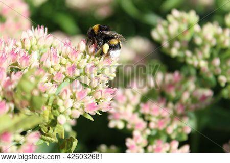 Bumblebee On A Sedum In The Garden