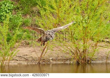 Wild Eagle Owl, The Bird Of Prey Flies With Spread Wings Over A Green Lake. Sandy Beach With Grass I