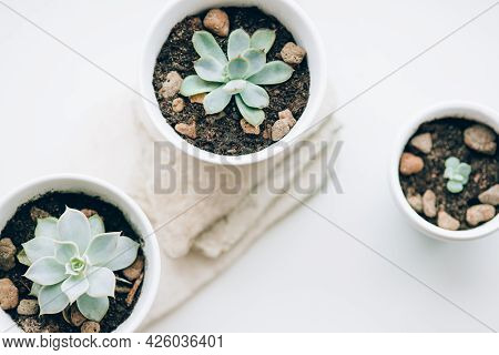 Succulents In White Pots On The Windowsill.