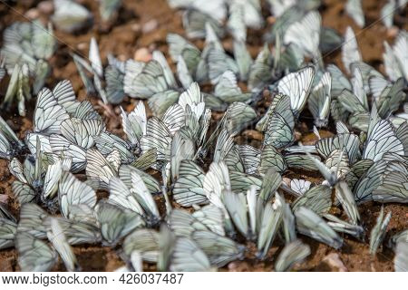 Group Of Black-veined White Butterfly Or Aporia Crataegi, Siberia, Russia