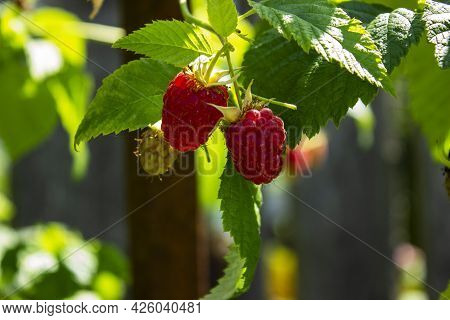 Raspberries On A Branch With Green Leaves, Raspberry Harvest In A Country Garden