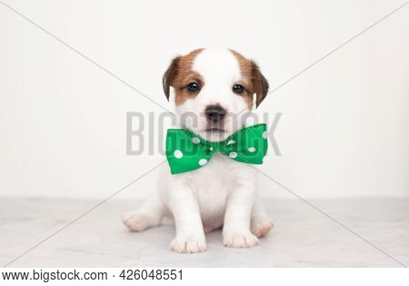 Close-up Cute Little Puppy Of Jack Russell Terrier Dog. White Puppy With A Green Bow Tie On A White