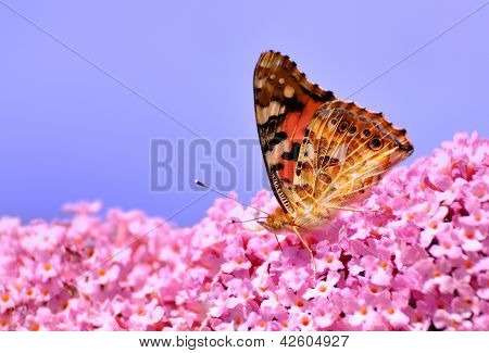 A Painted Lady butterfly on Lilac flower. poster