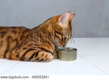 Bengal Cat Sniffing Food In A Tin Can, Side View