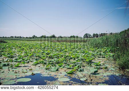 Lotus Leaves On The Lake In The Lake Of Lotuses In The Krasnodar Territory Elizavetinskaya Highway