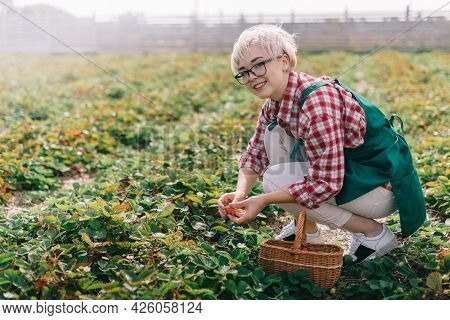 Farmer Is Harvesting Strawberries. Young Woman Collects Ripe Strawberries In Basket At Plantation. W