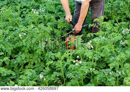 A Farmer Sprays Potatoes With A Spray Bottle. Fighting The Colorado Potato Beetle. Strong Poison For