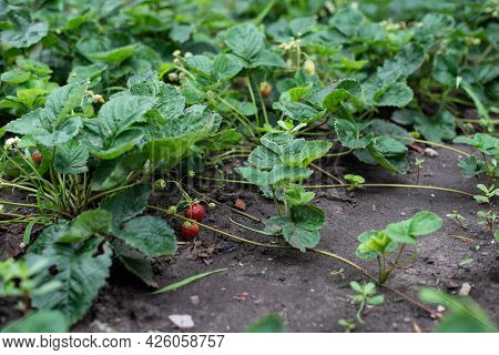 Strawberries, Harvest Strawberries. Strawberry Bushes With Berries. Propagation Of Strawberries With