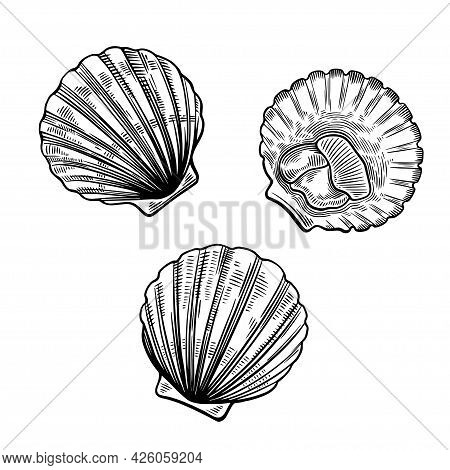 Scallops In Simple Line Art Vintage Style Isolated On White Background. Sea Food Illustration.