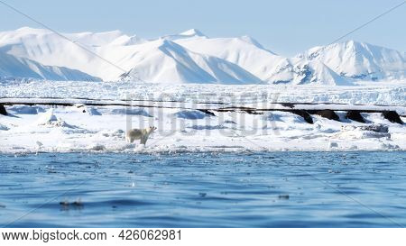 Adult female polar bear walks along the fast ice in Svalbard, a Norwegian archipelago between mainland Norway and the North Pole. There are snow covered mountaion and a glacier in the background.
