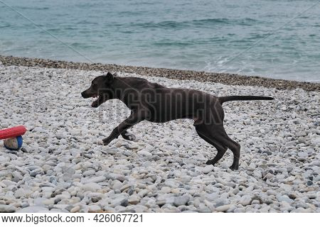 Blue Pit Bull Puppy With Cropped Ears On Pebble Beach. Portrait Of American Pit Bull Terrier In Clos