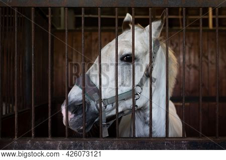 White Horse Standing In The Stable. Head View