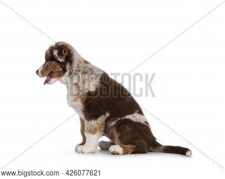 Cute Red Merle White With Tan Australian Shepherd Aka Aussie Dog Pup, Sitting Side Ways. Looking Str