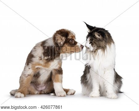 Cute Red Merle White With Tan Australian Shepherd Aka Aussie Dog Pup And Bicolor Ticked Maine Coon C