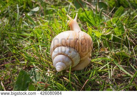 Beige Giant African Land Snail On Green Grass Background. Cracked Snail Shell. Back View. Selective