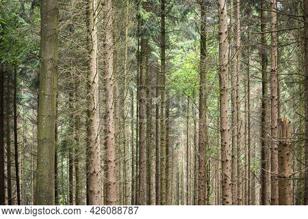 Forest With Trunks Of Coniferous Trees In The Netherlands As Background Photo