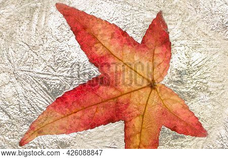 Beautifully Colored Leaf Of An Amber Tree Which Is Frozen In A Block Of Ice