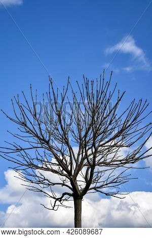 Tree With Straight, Bare Branches Sticking Out Against Blue Sky With Fluffy Clouds. Close-up. Select