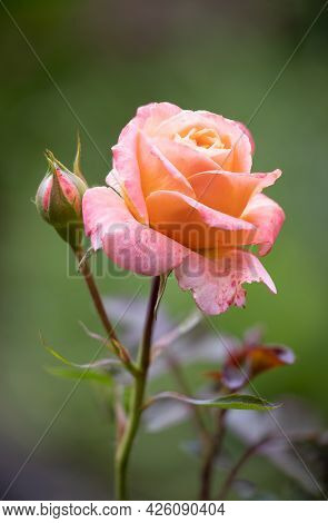 Detail Of Orange Rose Flower With Blurred Background, Photograph Made With Focus Stacking