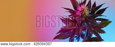 Cannabis Plant Top View. Long Banner Background With Flowering Marijuana Plant In Tropical, Neon Sty