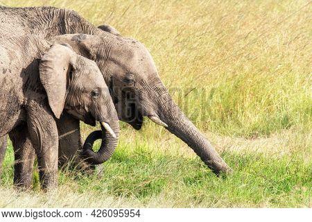 A pair of African elephants, loxodonta africana, grazing on the lush grass of the Masai Mara, Kenya.