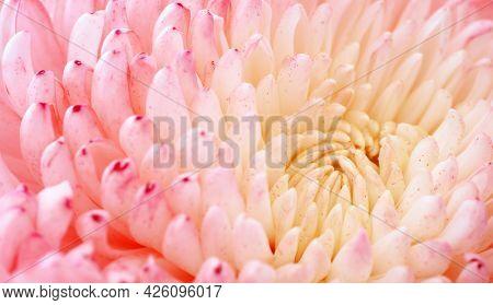 Chrysanthemum flower macro shot. Color flower background